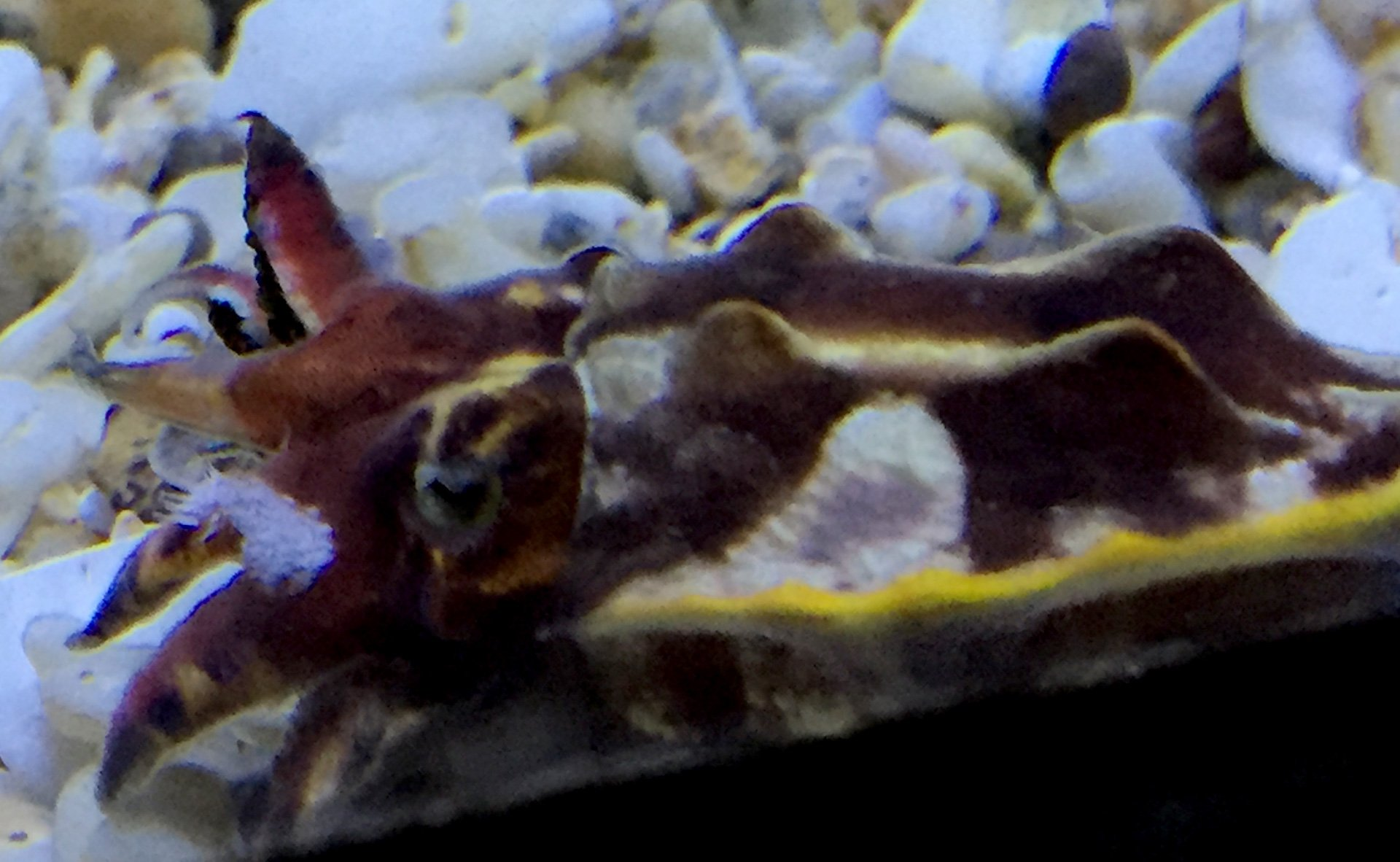 Cuttlefish are best seen in motion