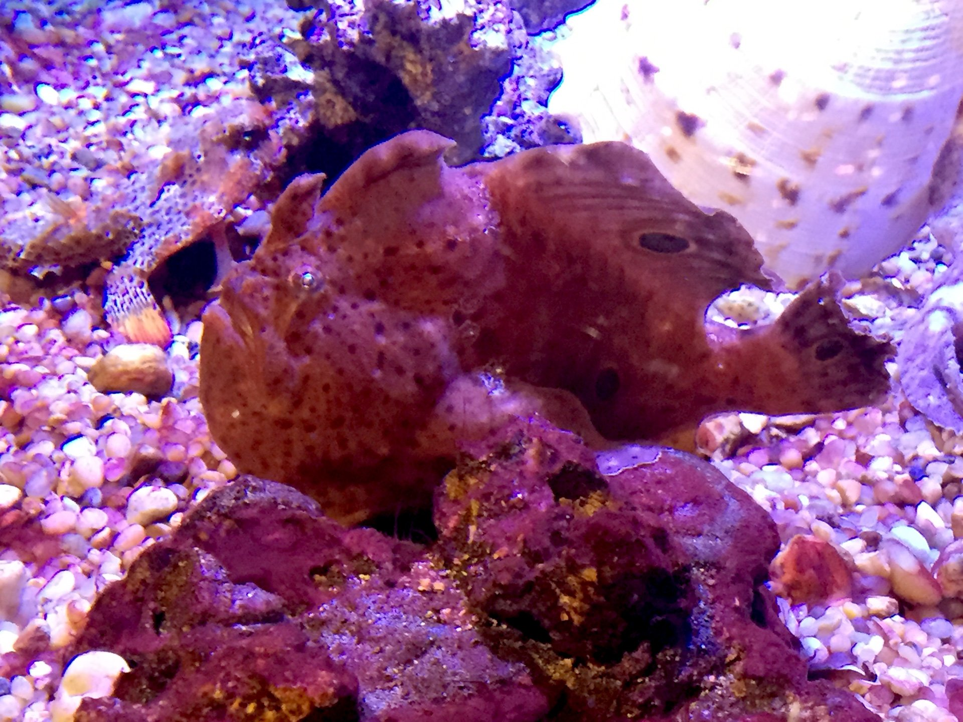 Frogfish are well-named